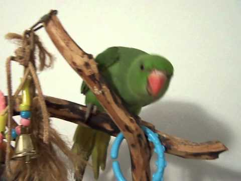 BABY INDIAN RINGNECK PARAKEET  3 MONTHS OLD