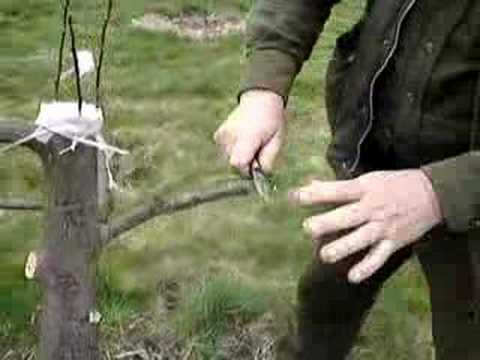 Fruitwise apple tree grafting, the cleft graft