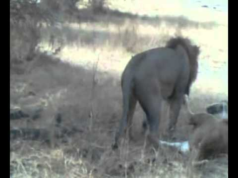 Africa Lion Honeymoon: Animal Mating Live View Video