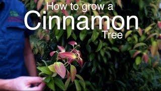 How To Grow A Cinnamon Tree
