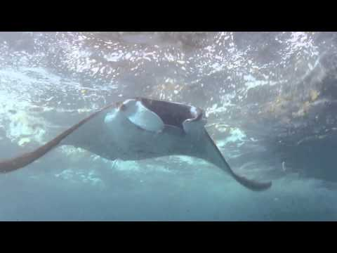 Manta Ray eats rubbish and spits it out!!.... #plastics #oceans