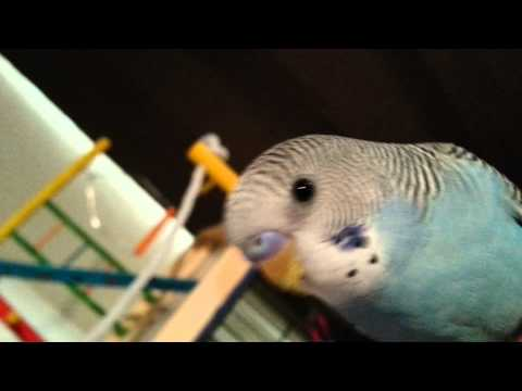 Sexing my parakeet blueberry Help!