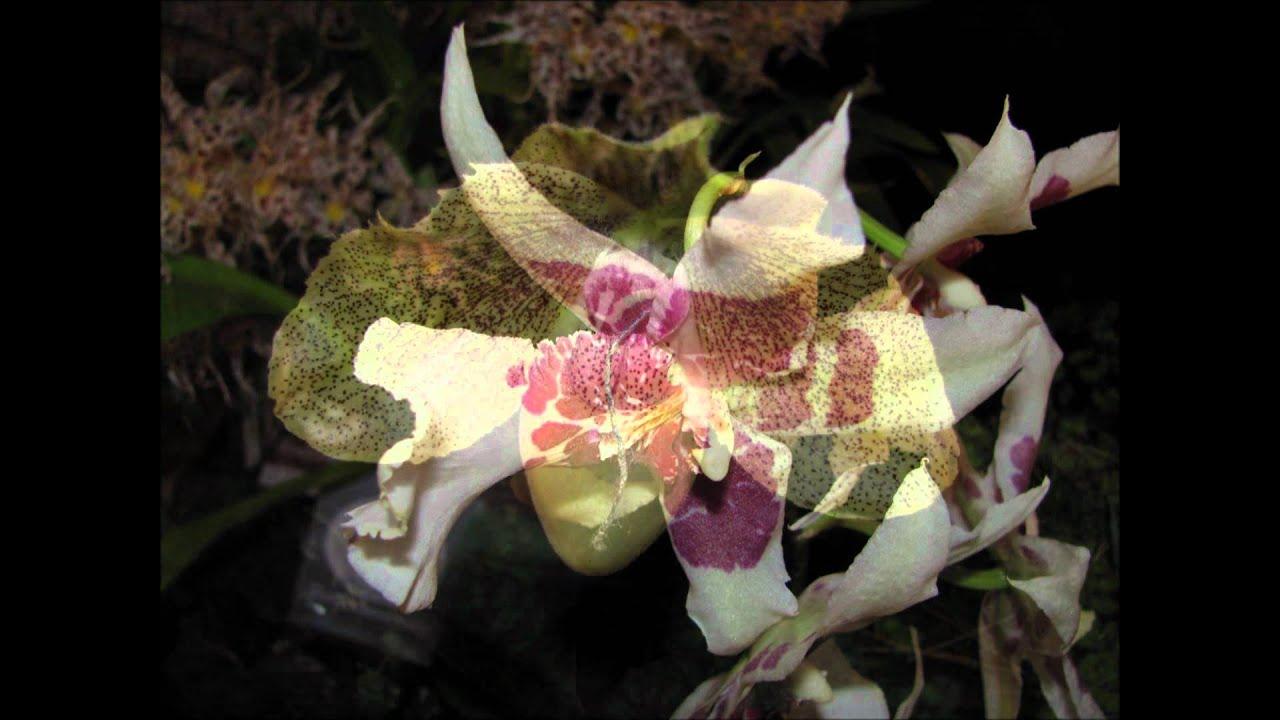 die sch nsten orchideen der welt teil 5 slideshow von. Black Bedroom Furniture Sets. Home Design Ideas
