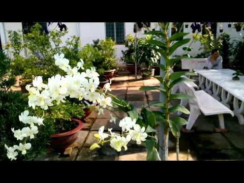 Lan dendrobium nở hoa cực đẹp ( vườn lan sa đéc)