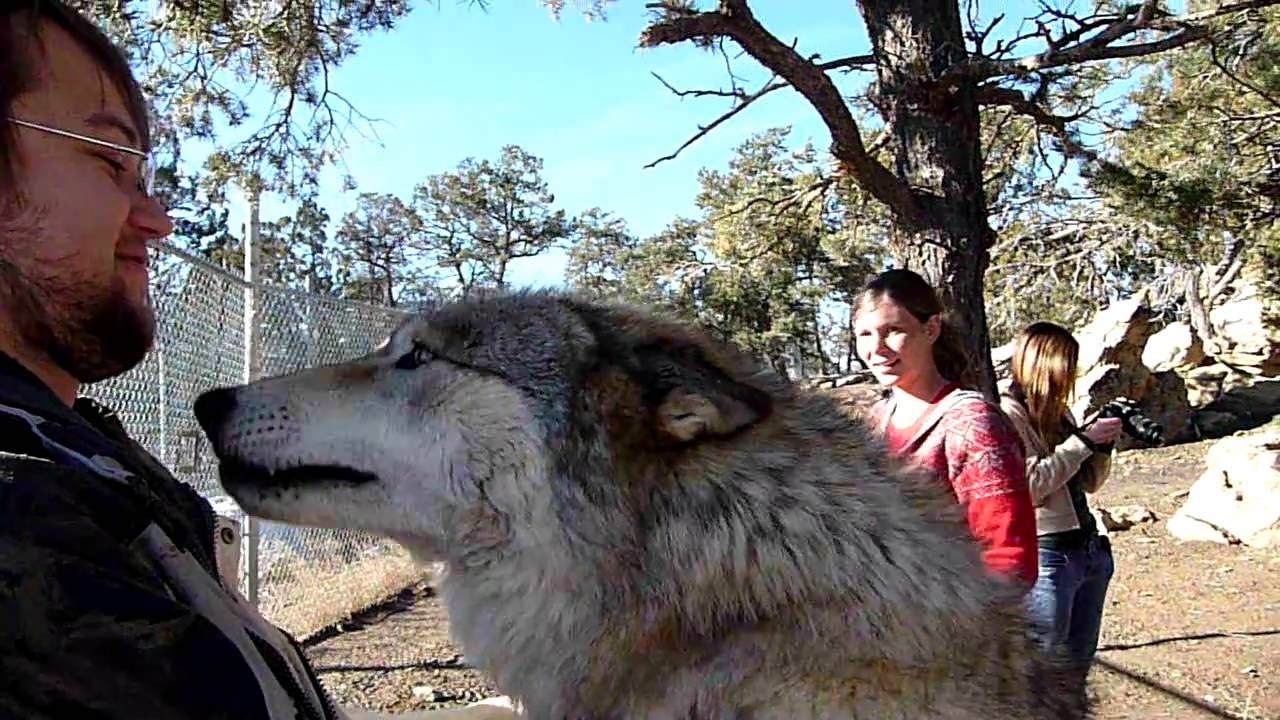 Transylvanian Wolf