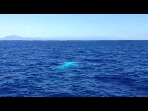 Migaloo white whale