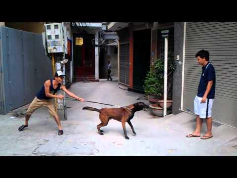 HL chó ở trạng thái đang chơi vui vẻ chuyển sang trạng thái hung dữ chỉ một cái vẩy tay của chủ
