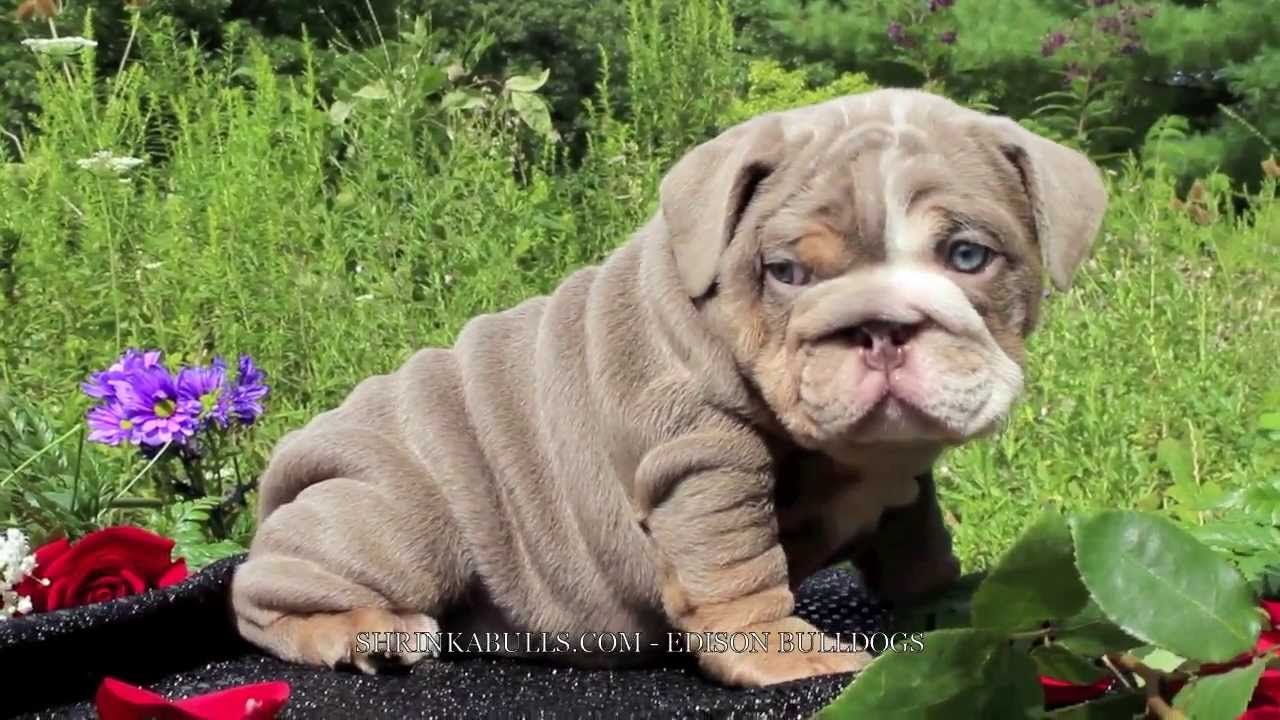 LILAC ENGLISH BULLDOG, LILAC ENGLISH BULLDOG PUPPY - YouTube