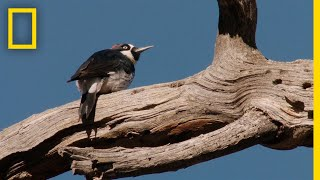 Woodpeckers Defend Their Food Supply | National Geographic
