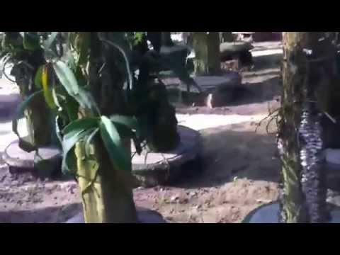 Vườn Lan Ngọc Điểm Trồng Thớt cực đẹp hd