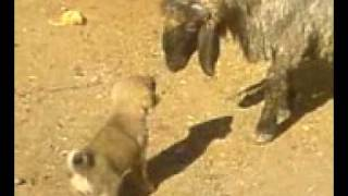 Baby Little Kurdish Kangal Dog Vs.Fighter Sheep Fighting