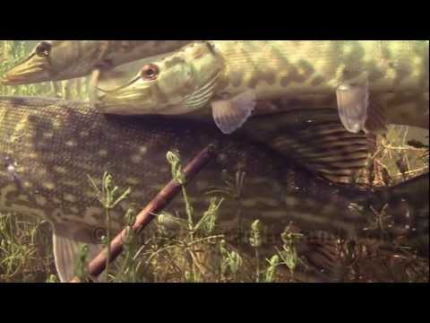 River monsters: face to face with a predator underwater (big pike Grote Snoek большая щука).