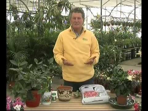El jardinero en casa gardenias youtube - El jardinero en casa ...
