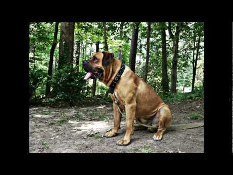 Rare Dog Breed: South African Boerboel,