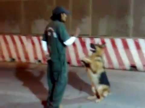 image تدريب الكلاب ولا اروع