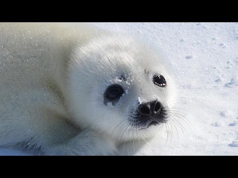 Baby Seals are in Danger