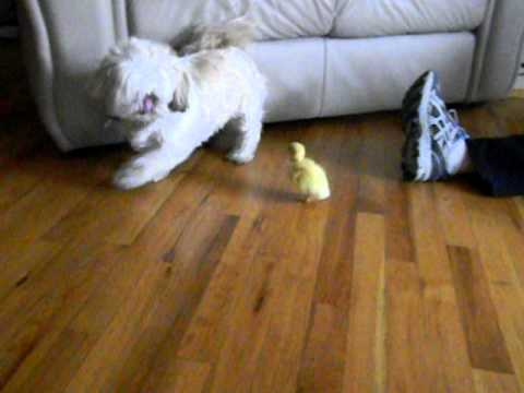 0 Dog scared of baby duck