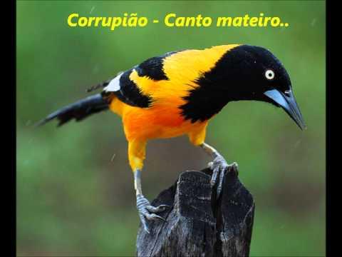 Toque para Celular - Corrupião