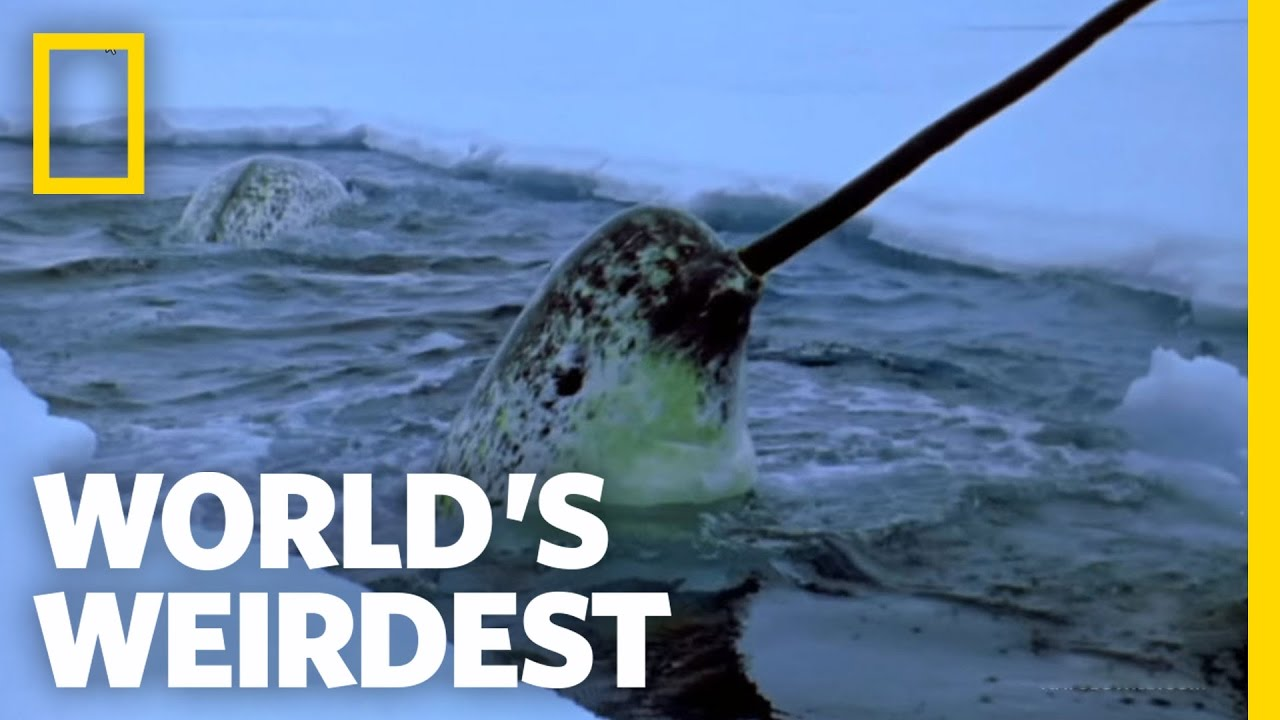 if you could be any animal what would you be page  a narwhal
