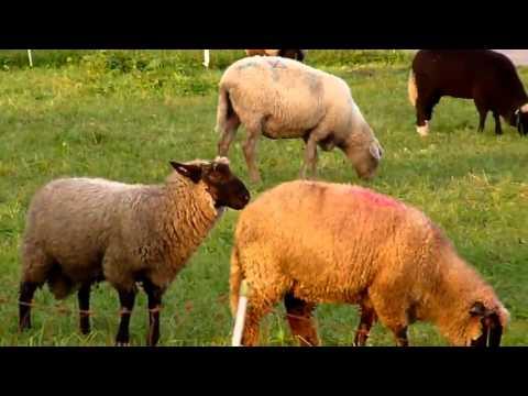 Mating Animals Horse Burro...