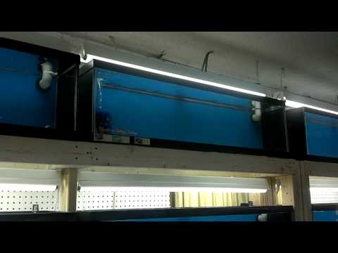 African Cichlid breeding set up part 3
