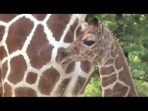 Baby giraffe stands on its feet and walks (Wildlife documentary)