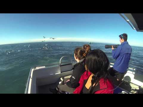 Bird watching in Kaikoura with 'Kaikoura's Albatross Encounter', New Zealand
