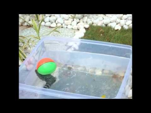 Fish playing ball