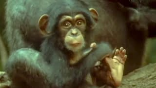 Attenborough:: Cute Baby Chimp