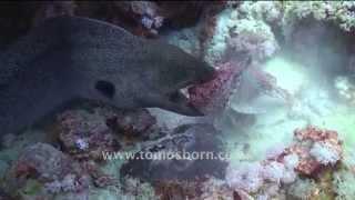 RARE! Moray Eel vs Stone Fish view on youtube.com tube online.