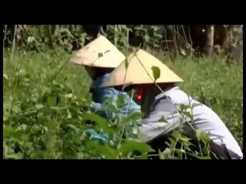 Cà Gai Leo Cây Thuốc Tốt Nâng Giá Trị Việt Nam