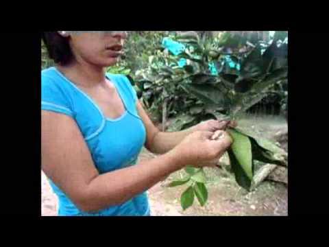 Producción de patrón trifoliado para porta injertos variedad roja (naranja)