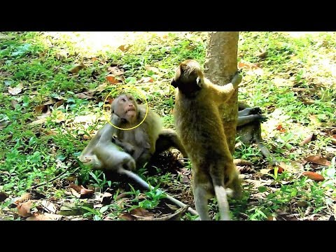 How Amazing Funny Anita Monkey Playing & Friendly Fighting With Friends In Amber Group