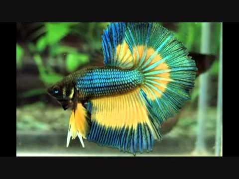 jenis - jenis ikan air tawar
