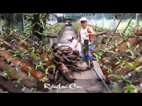 Vườn lan ngoc điểm đai châu trồng kỹ thuật mới