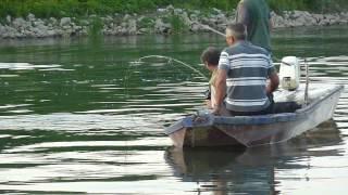 Upecan Veliki Som U Savi Kod Slavonskog Broda [Big Catfish