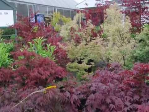 For sale japanese maple trees youtube for Maple trees for sale