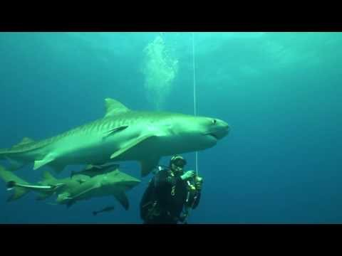 Tiger Shark Open Water Encounters
