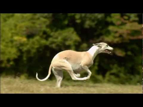 Video zu Whippet