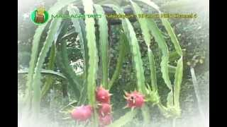 DOST-PCARRD: Organic Dragon Fruit Production; Dragon Fruit
