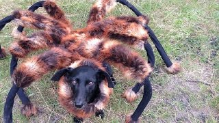 Poor Dog Dress Up Like A Massive Spider