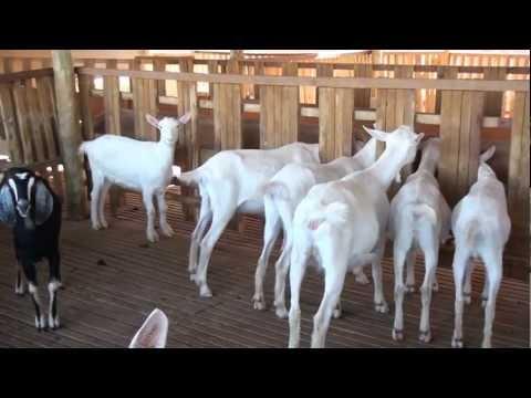 SBT MS Rural - Edição Especial de Sábado 08-09-12 - Bloco 1: Caprinocultura e Leite de Cabra.
