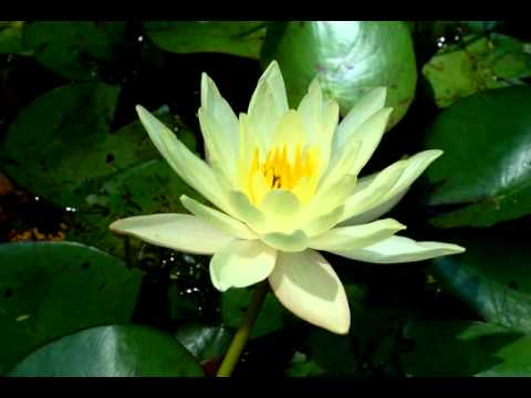 Lotus flower time-lapse -Ysbn5b4aTGk