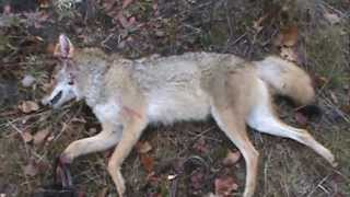 Coyote Trapping In Michigan