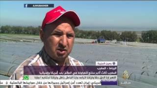 المغرب ثالث أكبر منتج للفراولة