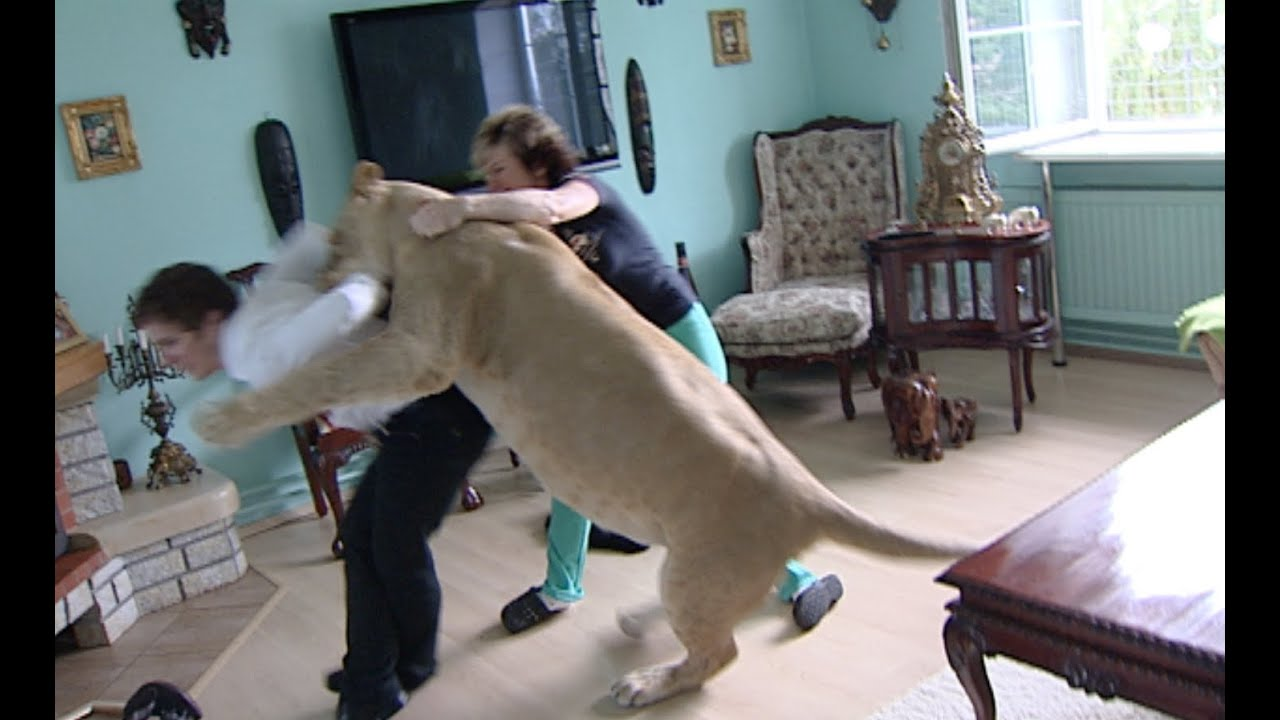 Lion attacks man at home - YouTube