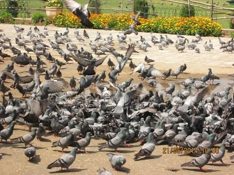 Pigeon's Safest Place On Earth - Hazratbal Mosque, Kashmir, India HD Video