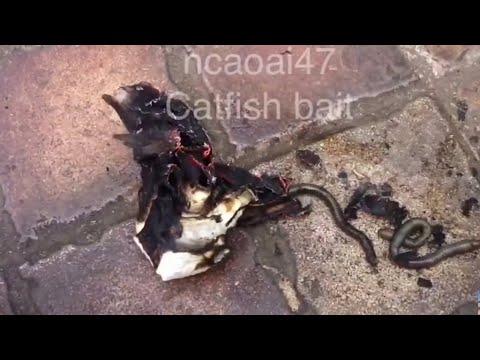 Catfish bait - grilled earthworms (13) Mồi câu cá trê