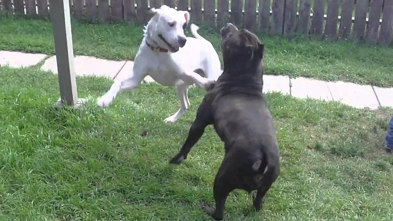 Dogo Argentino playfights Presa Canario - YouTube