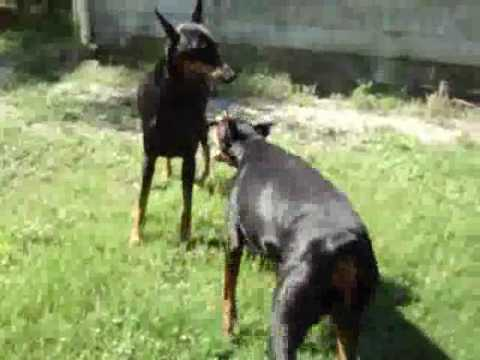 Pitbull Dog Vs Doberman